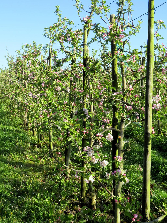 Appelbloesem in de boomgaard