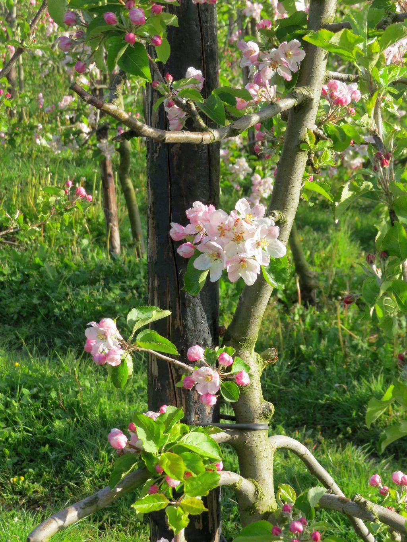 Appelbloesem in de lente 2016