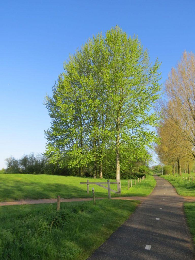 Lentegroene bomen langs het fietspad
