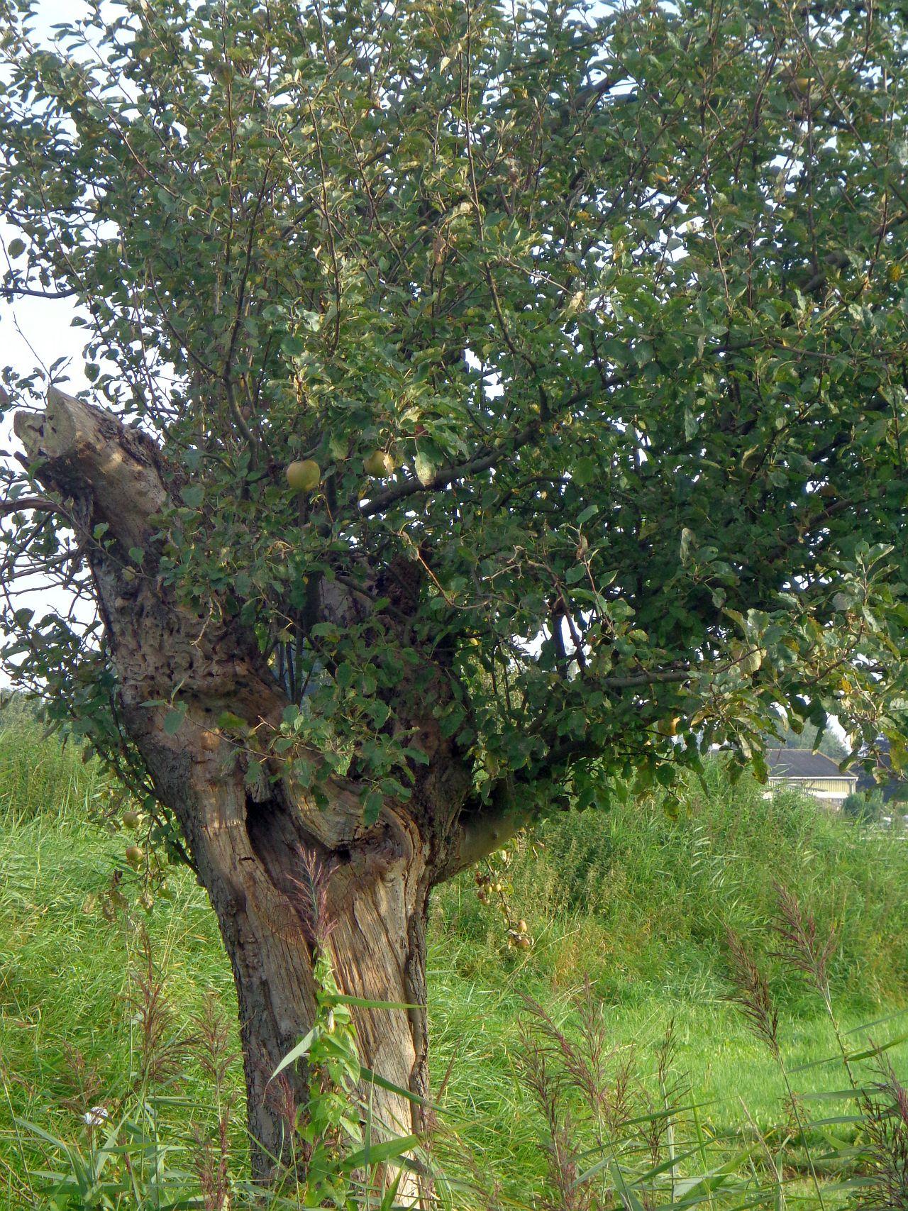 appletree-appelboom-3